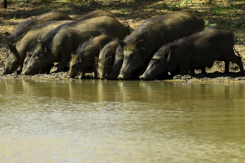 A group of boars drink from a river.