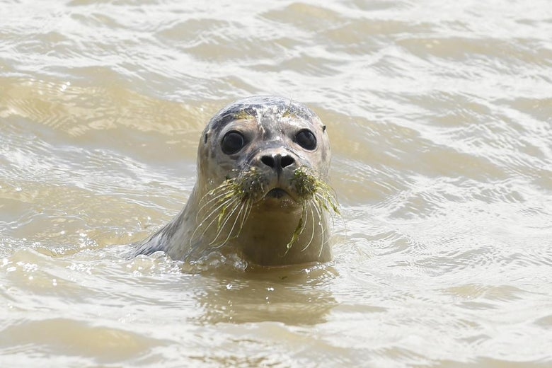 A young seal swims in the sea near Juist Island, north of Germany, on July 28, 2015.