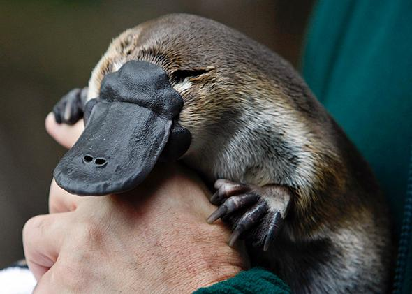 An adult male platypus named Millsom