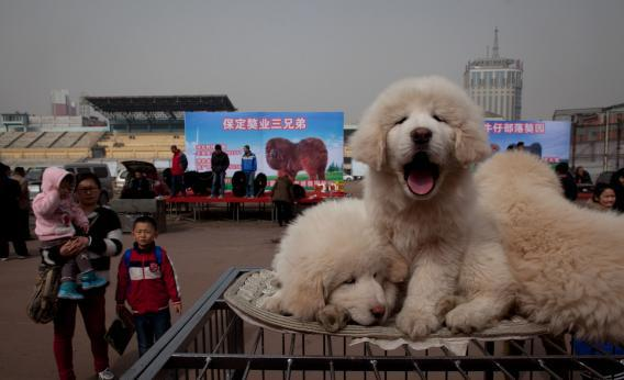 Tibetan mastiff puppies are displayed for sale at a mastiff show in Baoding, Hebei province—perhaps heading for a puppytorium near you.