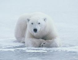 Polar bear. Click image to expand.