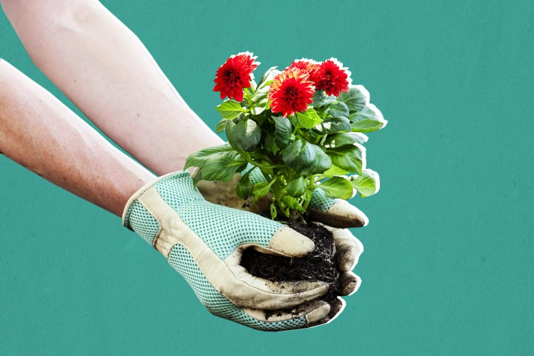 Gloved hands hold a flowering plant.
