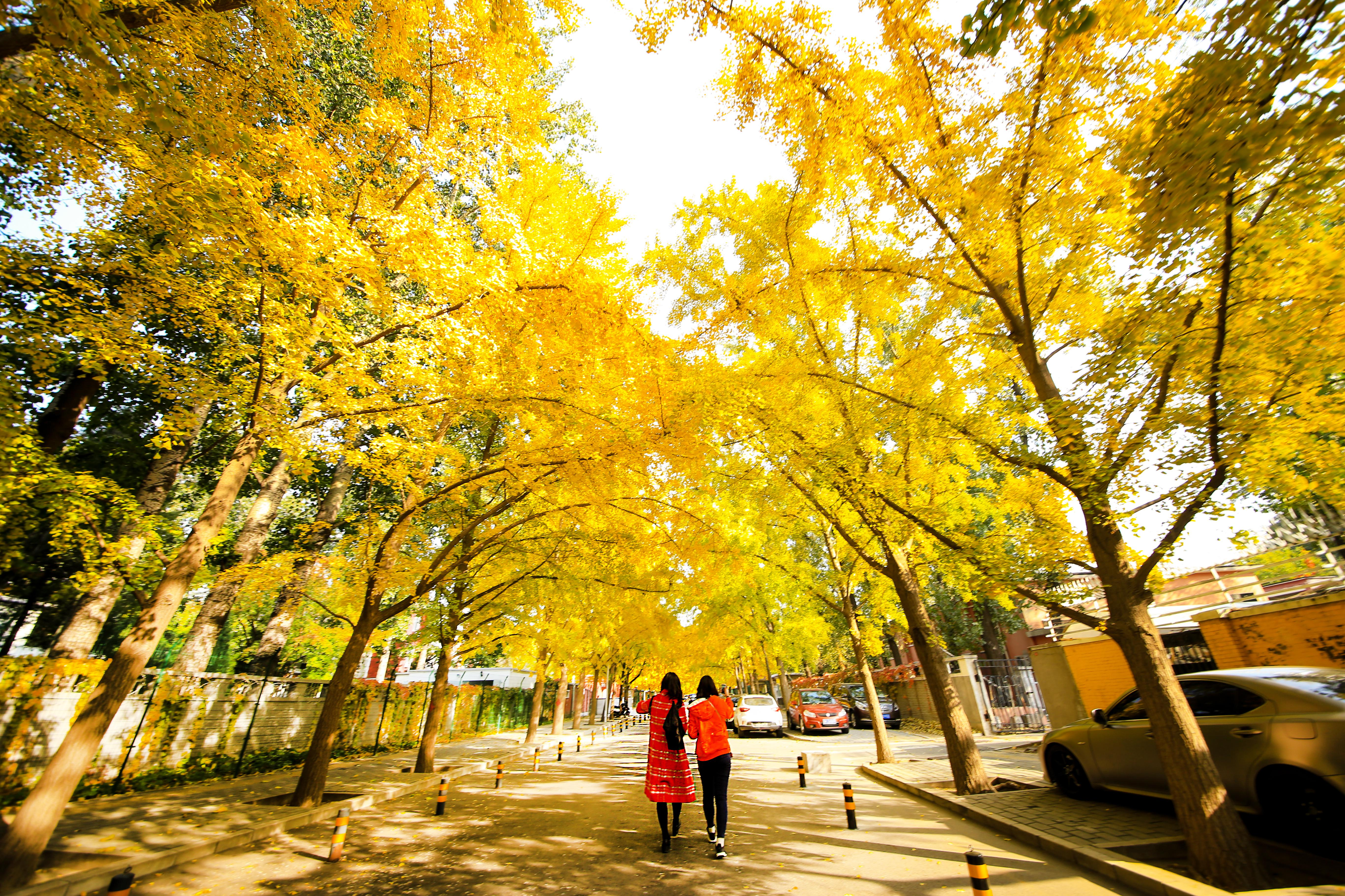 A street golden with gingko trees.