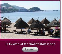 """Click to view slideshow """"In Search of the World's Rarest Ape""""."""