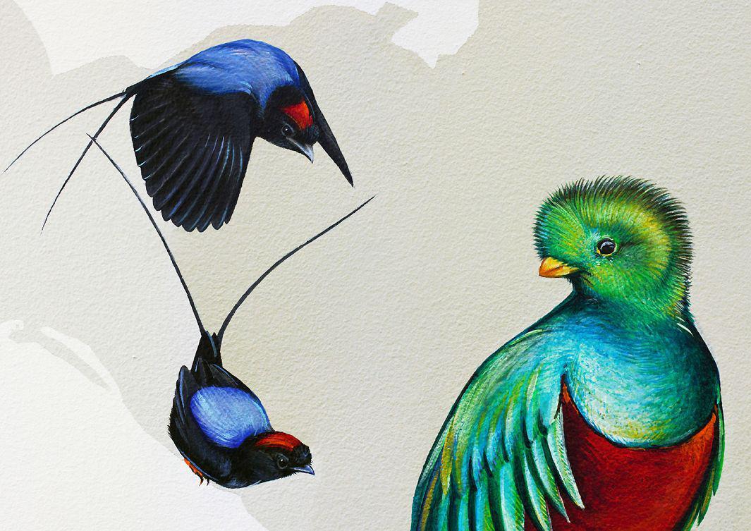 27_Long-tailed Manakin + Resplendent Quetzal