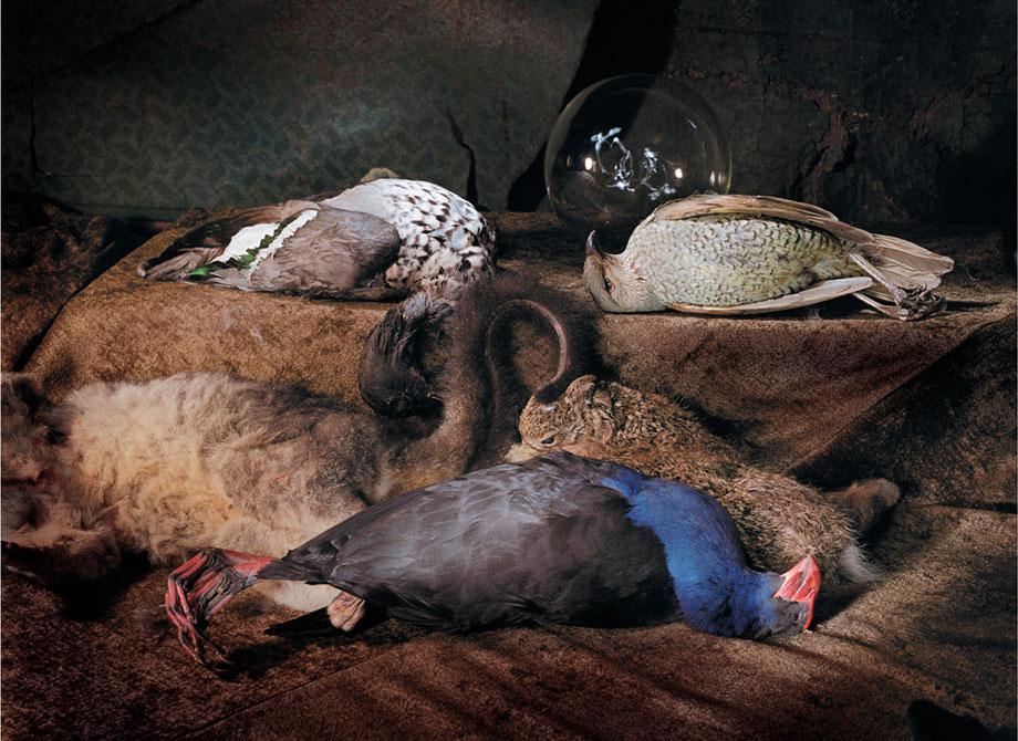 Marian Drew Still Life / Australiana (2003-2009) Bower bird Swamp hen duck.