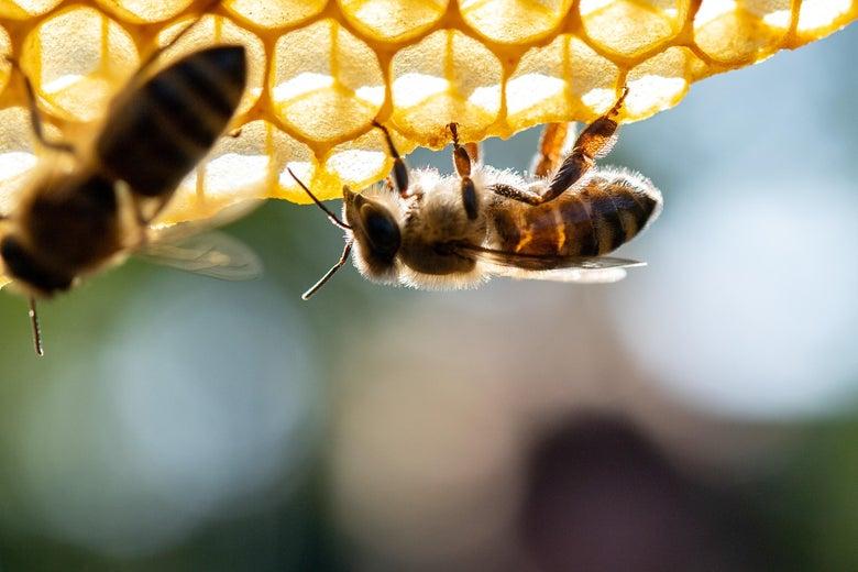 Honeybees climbing upside-down on a comb