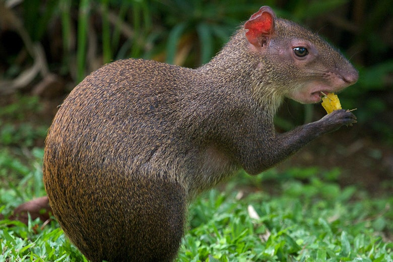 An agouti chewing food.