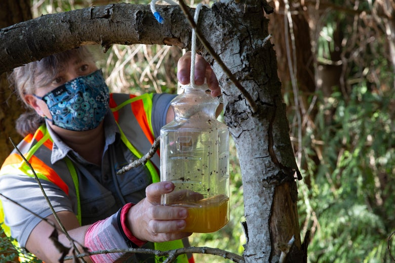 A pest biologist traps a murder hornet in a jar outside right next to a tree.