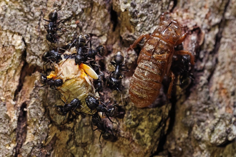 Carpenter ants tear apart the carcass of a Magicicada periodical cicada