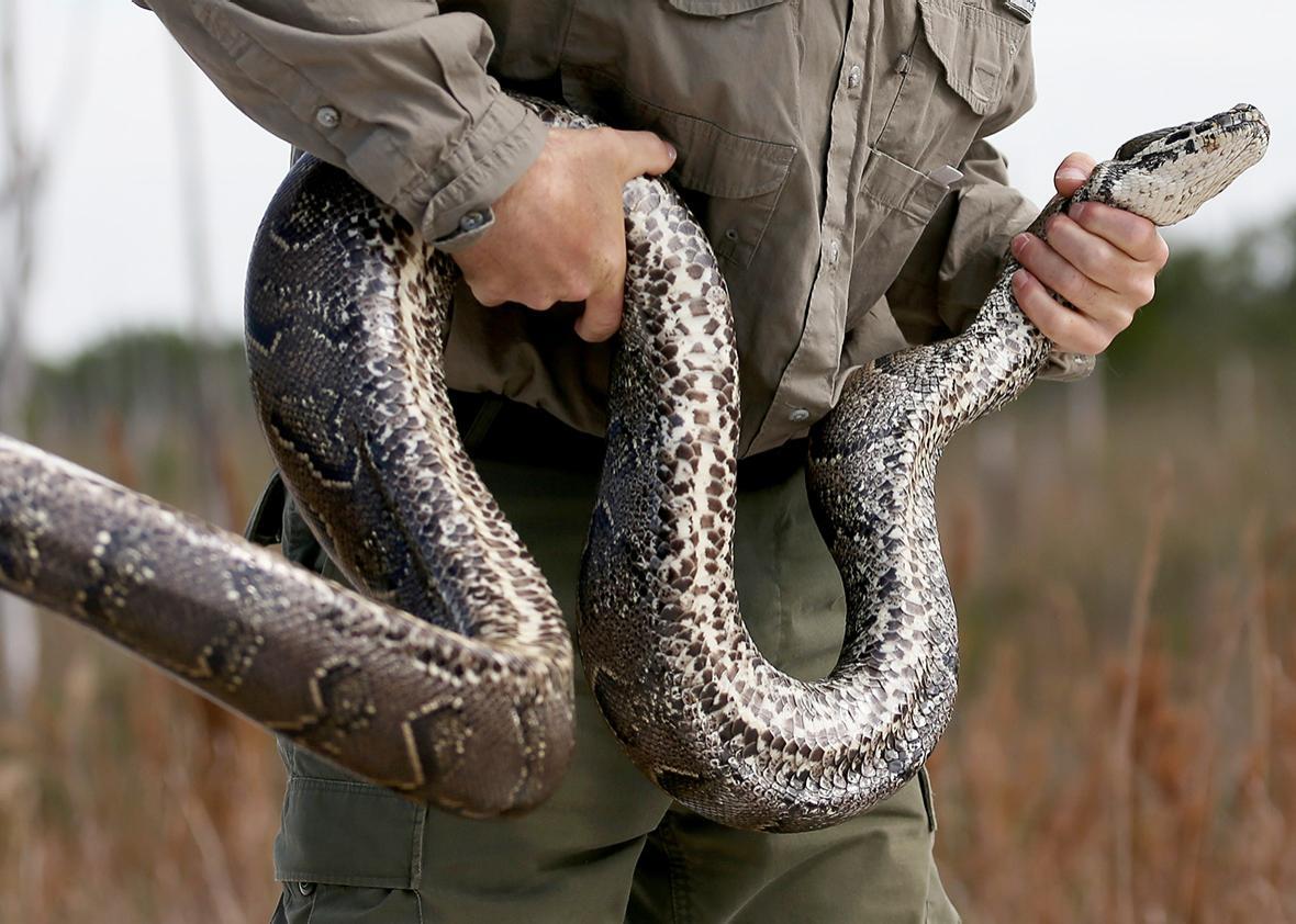 North African python