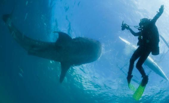 A scuba diver swims next to a whale shark as it is fed from a feeder boat off the beach of Tan-awan, Oslob, in the southern Philippines island of Cebu on March 1, 2013.
