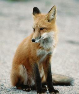 Fox. Click image to expand.