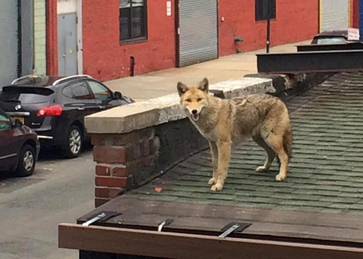 Coyotes In New York And Chicago Urban Ecology Of Rats