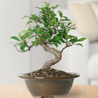 Brussel's Golden Gate Ficus Bonsai.