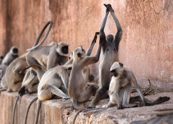 Gray langurs are seen at the Jaigarh Fort in April 2010 in Jaipur, India.