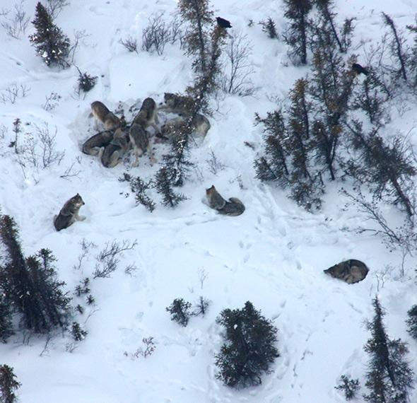 Aerial shot of a pack of Lost Creek wolves