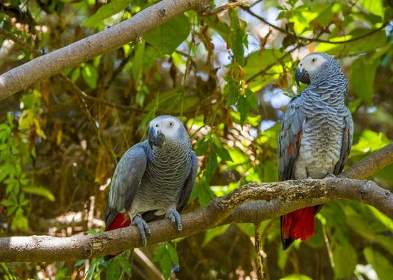 A pair of African Grey Parrots.