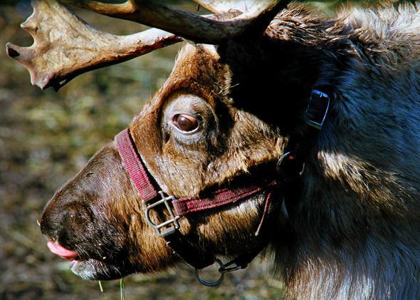 Reindeer, Dec. 2010.