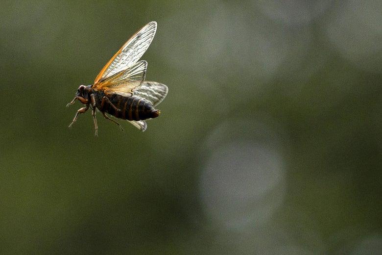 A cicada in flight.