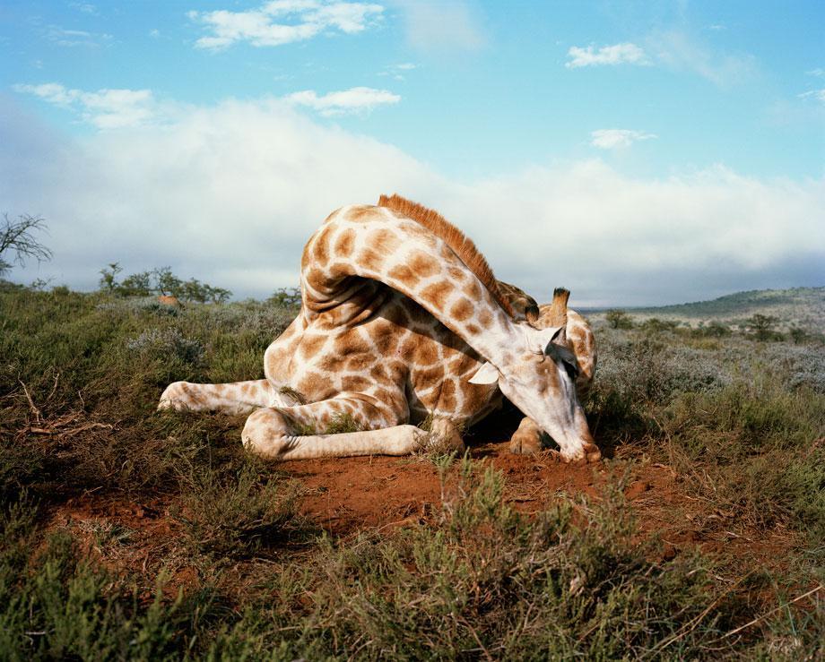 fallen giraffe, somerset east, eastern cape, south africa