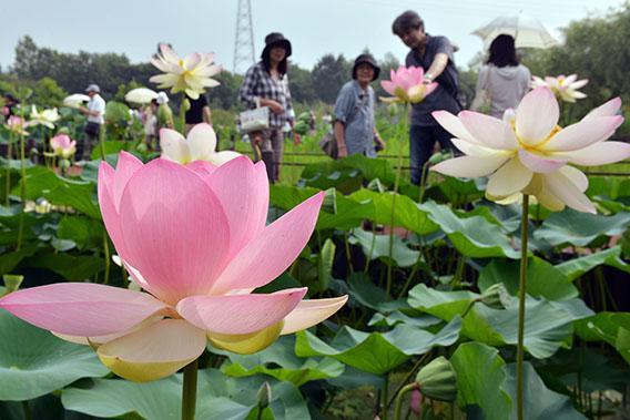 Visitors admire fully bloomed lotus flowers at the Kodaihasu-no-sato, the ancient lotus garden, at Gyoda city in Saitama prefecture, north of Tokyo on July 14, 2013.