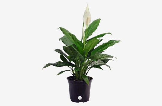 Costa Farms Peace Lily Spathiphyllum.