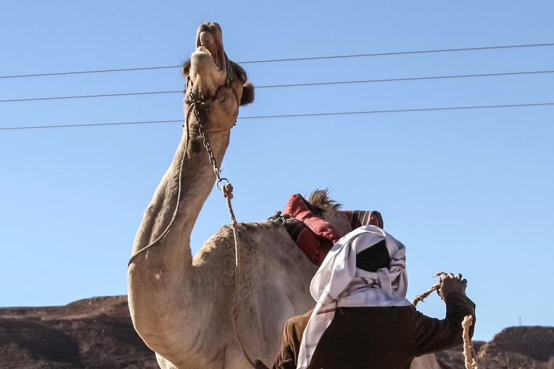 Camels, inherently very strong, can only be disciplined by years of careful training, most critically during their first four years, paralleled with a genuine bond of mutual affection with their owners.