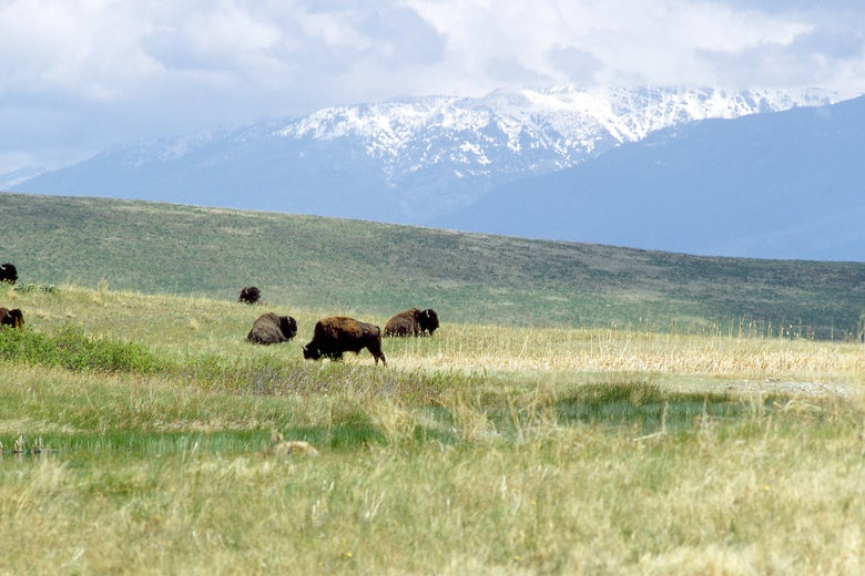 Bison graze on grasslands with snow-topped mountains in the background.