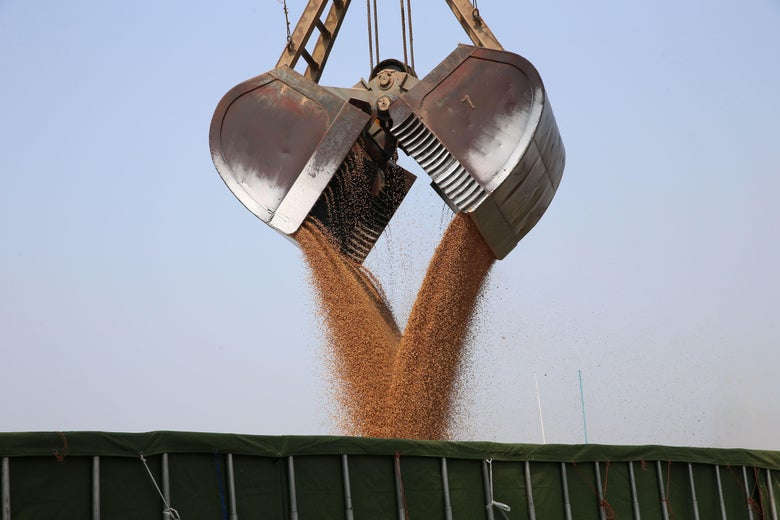Soybeans are unloaded into a truck.