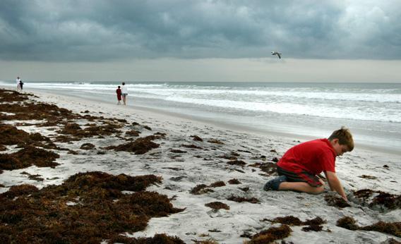 A child plays in Sargassum under cloudy skies September 9, 2007 in Wrightsville Beach, NC.