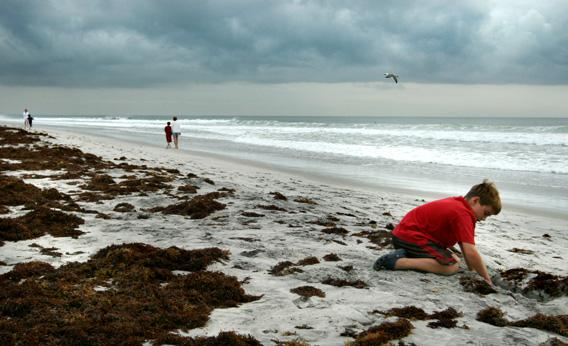 A child plays in Sargassum under cloudy skies September 9, 2007 in Wrightsville Beach, NC.
