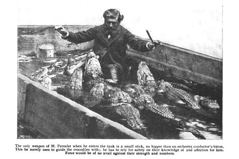 An old photograph of a man standing in a concrete tub filled with alligators. The man is holding a baton, as if conducting.