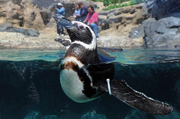 A rescued Magellanic Penguin from South America swims in the water at the Aquarium of the Pacific in Long Beach, California, May 2012.