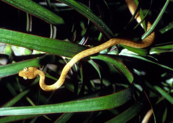 Brown tree snake, Boiga irregularis.