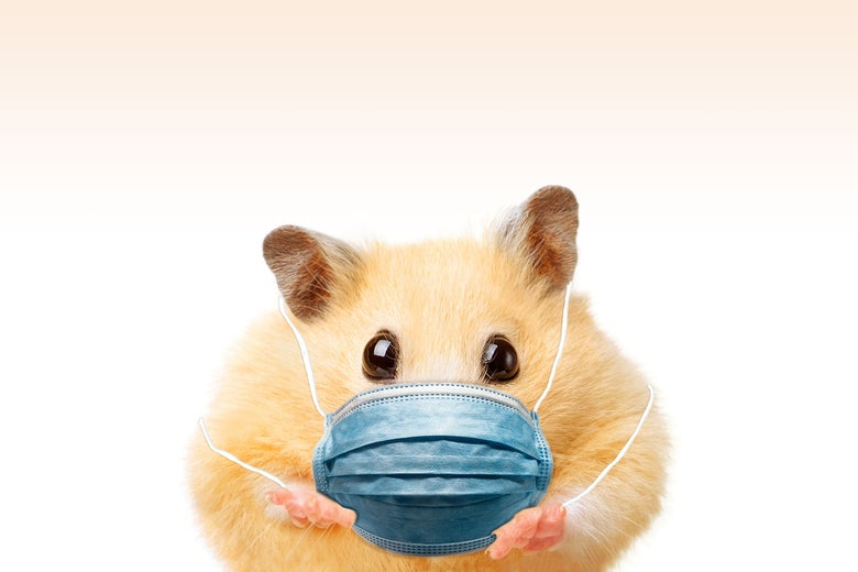 A hamster wearing a surgical mask.