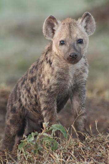 Hyena Surprises Pseudopenis Social Iq Intelligence Female Dominance