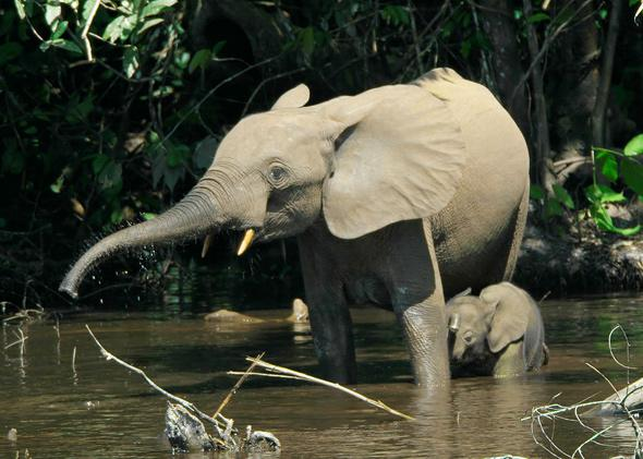 Forest elephants in the Mbeli River, Nouabalé-Ndoki National Park, Congo in 2007.