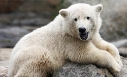 Knut. Click image to expand.