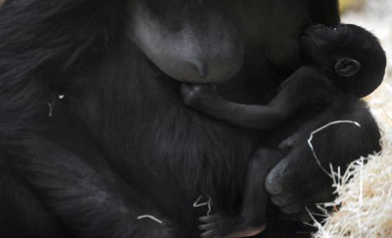 gorilla breast-feeds