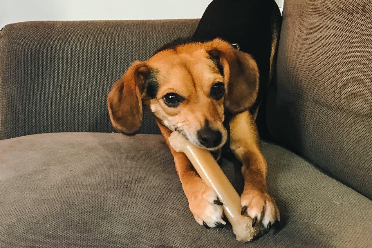 beagle with a Nylabone