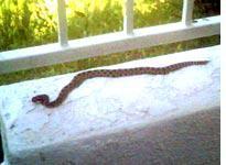 Baby California rattlesnake