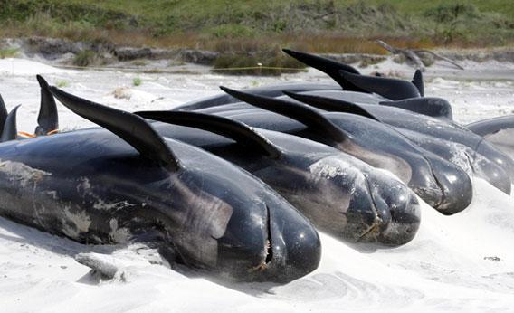 Whales stranded on Opoutere Beach in New Zealand