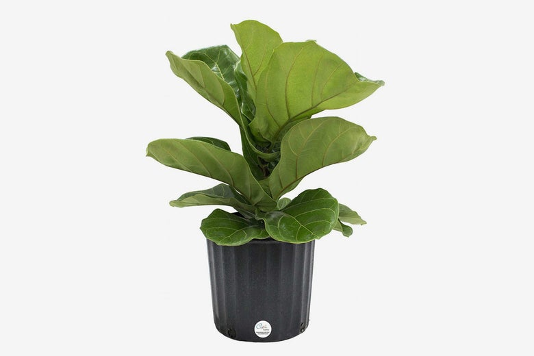 Costa Farms Ficus Lyrata, Fiddle-Leaf Fig