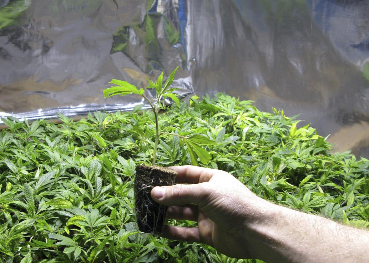 A marijuana crop