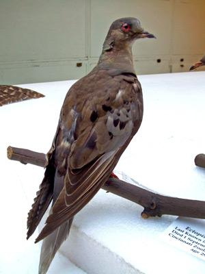Martha at the Smithsonian Institution's National Museum of Natural History, Washington, D.C.