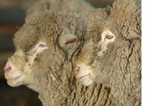 Sheep participating in the sex-study. Click image to expand.