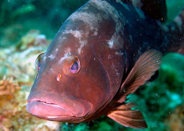 The industrious Red Grouper establishes complex habitat on the seafloor along Pulley Ridge.