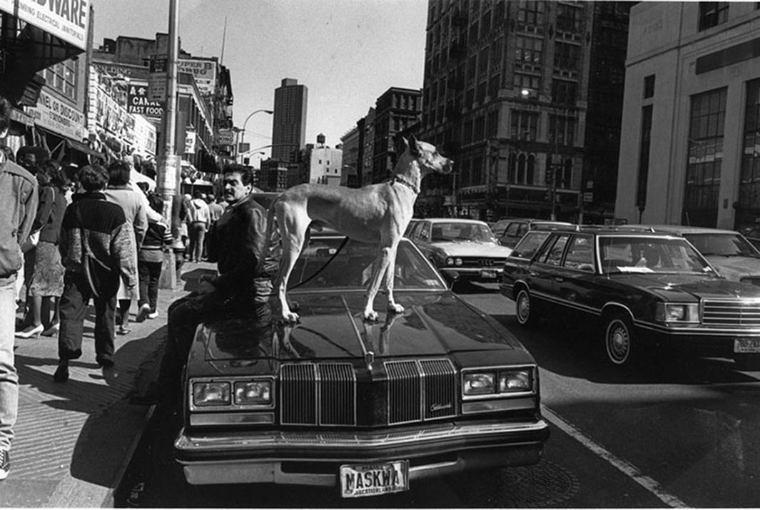 Dog on car, NYC
