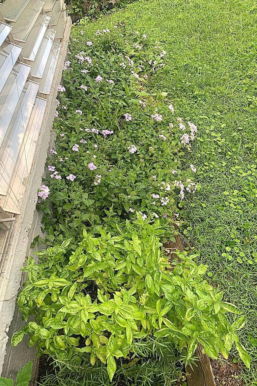 A flourishing basil plant next to flower bushes
